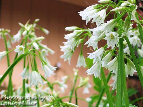 Allium17Apr10
